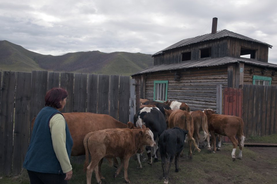Bayir-Kys Banchyk gets her cows and bulls into her courtyard after they returned from summer pastures. Mrs Banchyk, 40, a mother of three and native of this remote Kachyk area in southeastern Tuva bordering Mongolia, holds a well-paying government job of director of the village hall and has about 180 of own cows, several horses, and yaks. After the breakup of the Soviet Union citizens were allowed to raise stock of their own, and many Tuvans who had earlier been forced to abandon their thousand-year-old stock farming practices by the Soviet regime are gradually returning to the lifestyles of their stock farming ancestors.