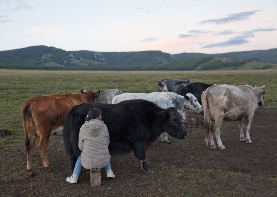 Valentina Kenden milking a yak in the Kachyk river valley - a remote area in southeastern Tuva bordering Mongolia. Mrs Kenden normally lives in Erzin - the district center - where she works as a nurse but on vacation she comes back to her family yurt and helps her parents and brother with their cattle - sheep, cows and yaks.